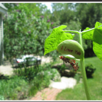 """The Perfect Mother's Day Gift, An """"I Love You"""" Bean Plant!"""