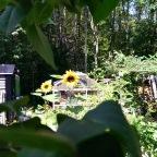 Summer Sunflowers Vol 1.