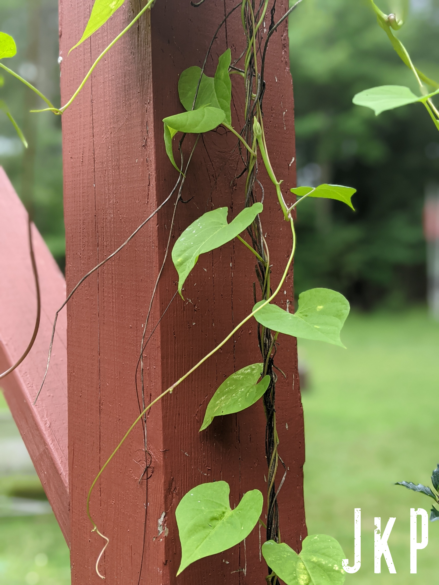 Moring Glory Vine with Red Post