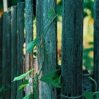 Morning Glories Growing on a Country Wooden Fence