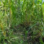NH Sweet Corn Harvest